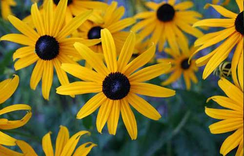 Blackeyedsusan Landscaping Virginia