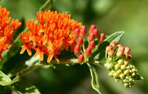 Butterflyweed Landscaping Virginia