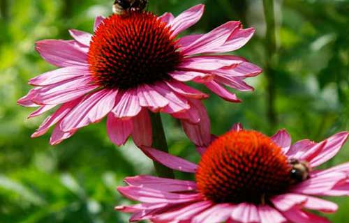Coneflower Landscaping Virginia