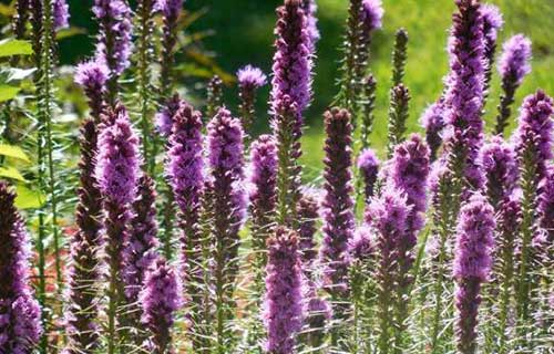 Liatris Landscaping Virginia